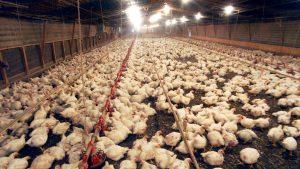 Gripa aviară, o altă îngrijorare