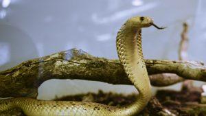 șarpe cobra